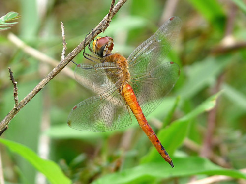 Бродяжка рыжая-Pantala flavescens