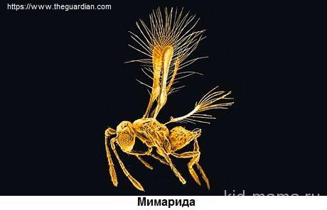 Мимарида-1