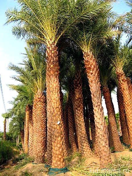 Удивительные пальмы.