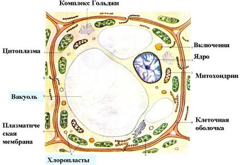 Клетки различаются по строению и