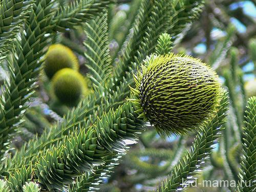 Араукария чилийская, ее листья живут до 40 лет!