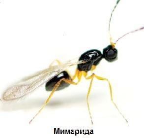 мимарида