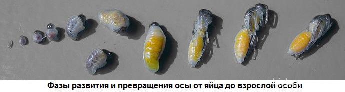 Stadii_razvitiya_osyi_bumazhnoy
